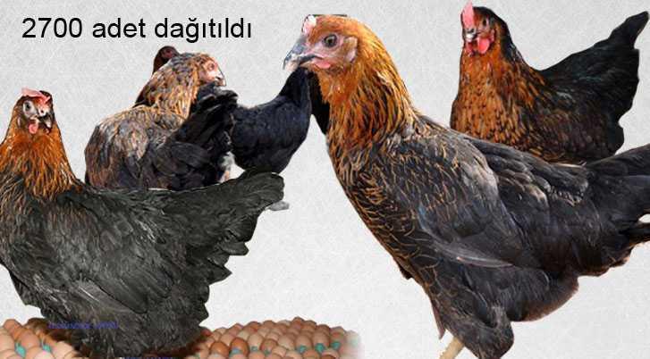 Bayburt'ta Yerli Yumurta Tavuğu Dağıtıldı
