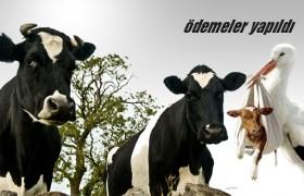 Hayvancılık Desteklemeleri Ödeniyor