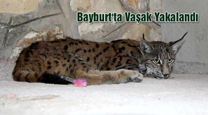 Bayburt'ta Yakalanan Vaşak Erzurum'a Gönderildi