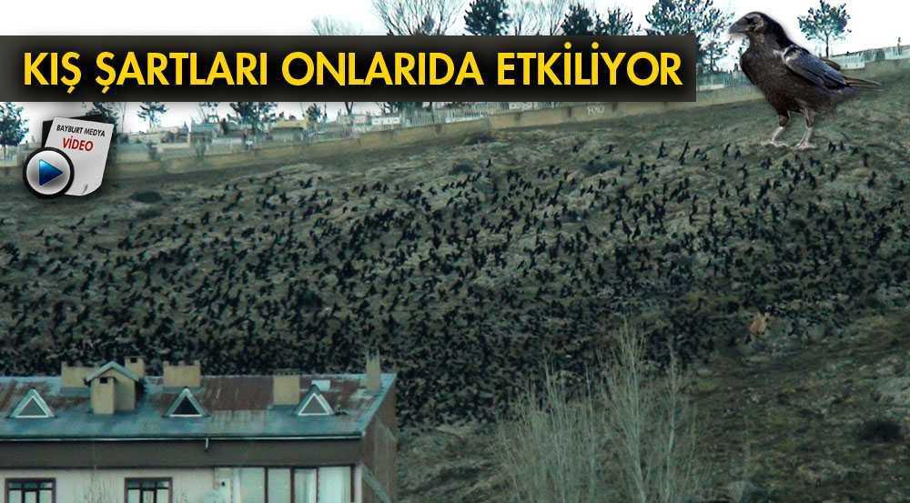 Bayburt'ta Kuşlar Kış Ayının Zorluklarını Yaşıyor