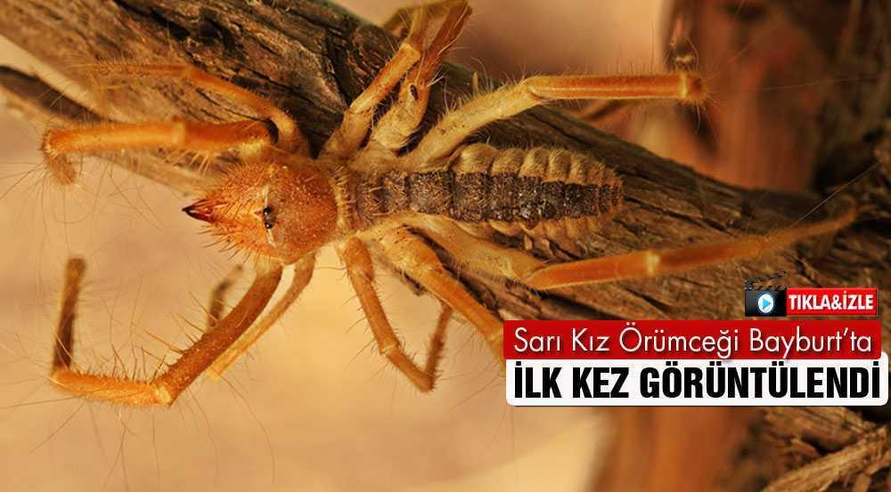 Sarı Kız Örümceği Bayburt'ta İlk Kez Görüntülendi