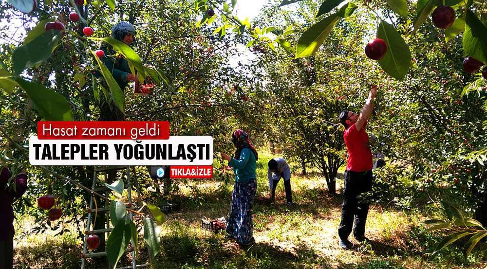Bayburt'un Gez Köyünde Organik Vişne Hasadı Başladı