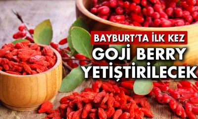 Bayburt'ta İlk Kez Goji Berry Yetiştirilecek