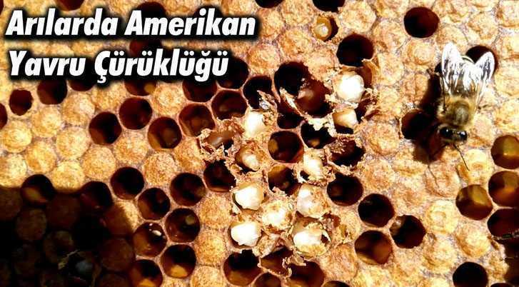 Arılarda Amerikan Yavru Çürüklüğü Hastalığına Dikkat!